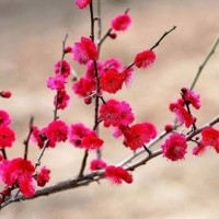 梅花嫁接苗陕西梅花专业种植 杏梅美人梅红梅 梅花移植成品苗3-8厘米供应 成活率高