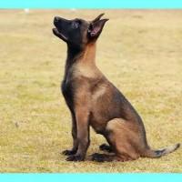马犬 优惠促销纯种比利时马犬幼犬 品相好兴奋度高保健康